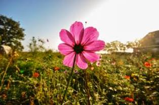 pink daisy in field